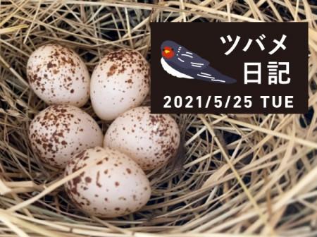 ツバメの卵が産まれています